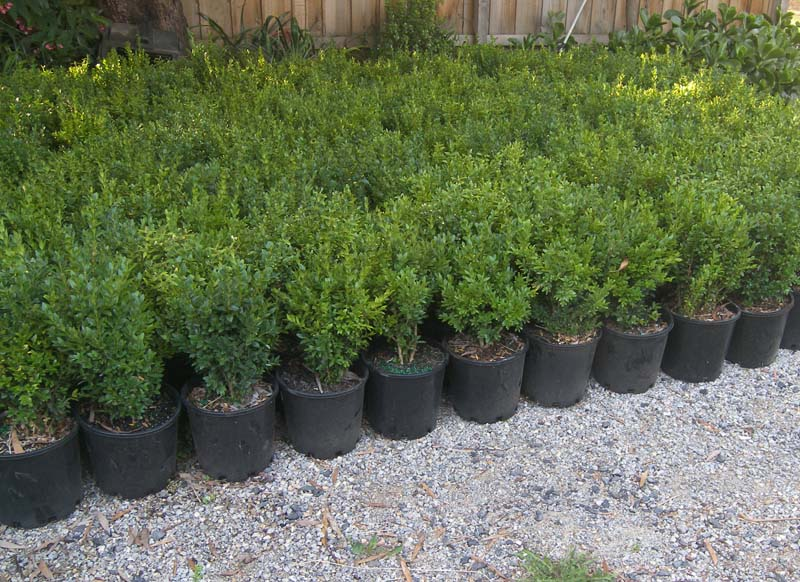 Five 30 35cm english box buxus hedge plants 8 pot size ebay for Plant in an english hedge crossword clue