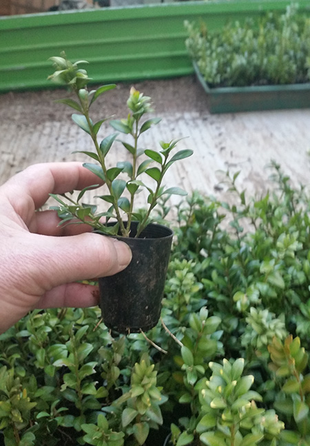 Trays of forty two english box hedge plants in tubes ebay for Plant in an english hedge crossword clue